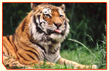 Tiger Tour India,  Pilibhit Tour Operator,  Reserve Tiger Tour,  Indian T