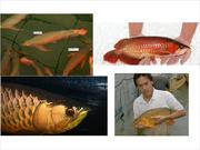 Buy AROWANA FISH NOW!! VERY CHEAP