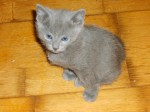 Russian Blue Litters