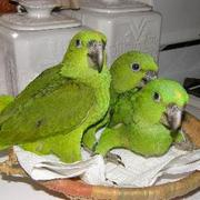 Gorgeous Hand-fed Baby Parrots For Christmas